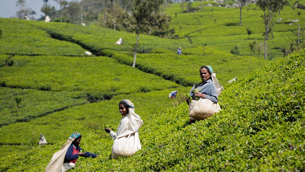 Tea leaf picking in Nuwara Eliya, Sri Lanka