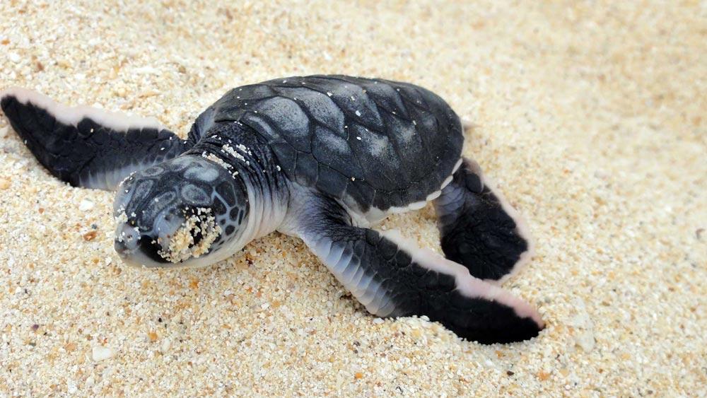 Turtle Season in Kota Kinabalu, Malaysia